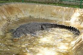 """Crocodile named """"Pangil""""The country's second largest at 18 feet long"""